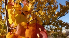 Trembling yellow and red leaves of an apricot tree in the fall. Close up view. Stock Footage