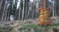 Little unique tree pan autumn colored leaves in mountain range Harz HD Footage