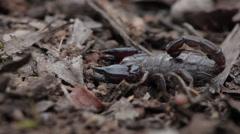 Dangerous Scorpian - stock footage