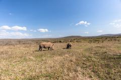 wildlife rhinos habitat - stock photo