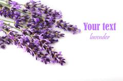 Lavender flower on white background Stock Photos