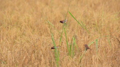 Birds in the rice fields (Lonchura punctulata) Stock Footage