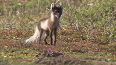 Arctic fox, (Vulpes lagopus) family in summer, Churchill, Manitoba, Canada Stock Footage