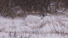 Arctic fox, (Vulpes lagopus) in winter coat on snow, Churchill, Manitoba, Canada Arkistovideo