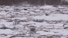 Arctic fox, (Vulpes lagopus) in winter coat on snow, Churchill, Manitoba, Canada - stock footage