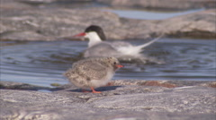 Arctic tern (Sterna paradisaea,) tiny chick being fed, Manning Island, Nunavut, Stock Footage