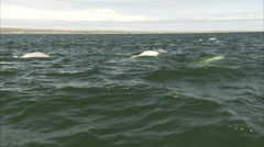Beluga whales (Delphinapterus leucas) from surface, Churchill, Manitoba, Canada Stock Footage