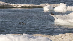 Black guillemots (Cepphus grylle) on ice, Manning Island, Nunavut, Canada - stock footage