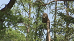 Great grey owl (Strix nebulosa) adults, Riding Mountain, Manitoba, Canada Stock Footage