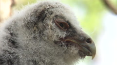 Great grey owl (Strix nebulosa) chick in nest, Riding Mountain, Manitoba, Canada Stock Footage