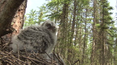 Stock Video Footage of Great grey owl (Strix nebulosa) chick in nest, Riding Mountain, Manitoba, Canada