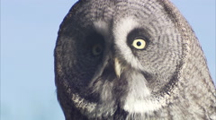 Great grey owl (Strix nebulosa) close ups, Riding Mountain, Manitoba, Canada - stock footage