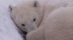 Polar bear curled up in snow, Churchill, Manitoba, Canada Stock Footage