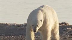 Polar bear walking on beach, Manning Island, Nunavut, Canada Stock Footage