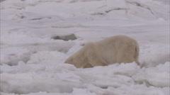 Polar bear walking on ice, Churchill, Manitoba, Canada Stock Footage