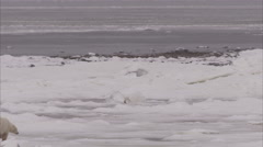 Polar bear walking on ice, Churchill, Manitoba, Canada - stock footage