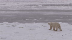 Polar bear walking on ice, Churchill, Manitoba, Canada Stock Footage