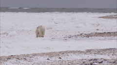 Polar bear walking on ice, Churchill, Manitoba, Canada - stock footage