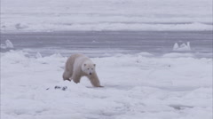 Stock Video Footage of Polar bear walking on ice, Churchill, Manitoba, Canada