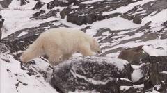 Polar bear walking on snowy rocks, Churchill, Manitoba, Canada Stock Footage