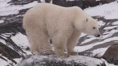 Polar bear walking on snowy rocks, Churchill, Manitoba, Canada - stock footage
