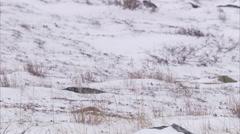 Polar bear lying on snowy tundra, Churchill, Manitoba, Canada Stock Footage