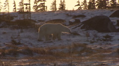 Polar bear walking on snowy tundra, Churchill, Manitoba, Canada - stock footage