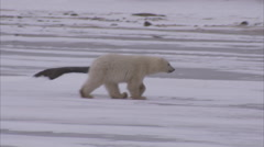 Polar bear with cubs walking on ice, Churchill, Manitoba, Canada - stock footage