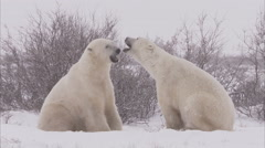 Polar bears sparring in blizzard, Churchill, Manitoba, Canada - stock footage