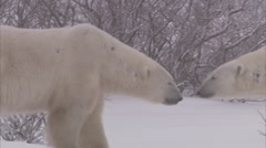 Stock Video Footage of Polar bears sparring in blizzard, Churchill, Manitoba, Canada