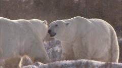 Polar bears sparring in sunshine, Churchill, Manitoba, Canada - stock footage