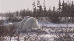 Polar bears sparring in sunshine, Churchill, Manitoba, Canada Stock Footage