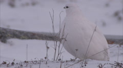 Ptarmigan in snow, Churchill, Manitoba, Canada - stock footage