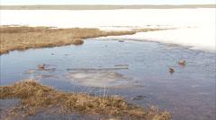 Red phalarope feeding behavior, Manning Island, Nunavut, Canada - stock footage