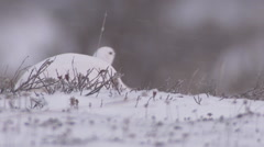 Ptarmigan in snow, Churchill, Manitoba, Canada - stock footage