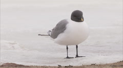 Stock Video Footage of Sabine's gull feeding behavior, Manning Island, Nunavut, Canada