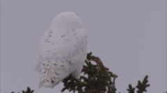 Snowy owl, Churchill, Manitoba, Canada - stock footage