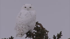 Snowy owl, Churchill, Manitoba, Canada - stock footage