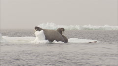 Walrus,Odobenus rosmarus, adults on ice floes, Manning Island, Nunavut, Canada Stock Footage