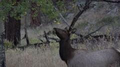 Rocky Mountain elk cow Stock Footage