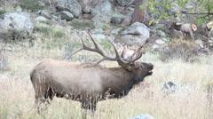 Rocky Mountain bull elk Stock Footage