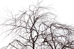 Bare tree branches on white Stock Photos