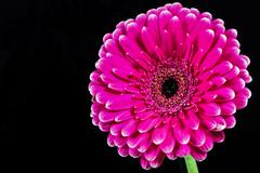 Pink gerbera daisy Stock Photos