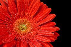 Red gerbera daisy Stock Photos