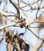 walnut tree with bare branches - stock photo