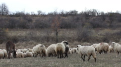 Grazing Sheep and Donkey Stock Footage