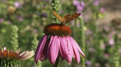 Comma butterfly (Polygonia c-album)  feeds on nectar echinacea purpurea - stock footage