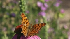 Comma butterfly (Polygonia c-album) lands on echinacea purpurea - stock footage