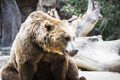 Stock Photo of predator, beautiful and furry brown bear, mammal