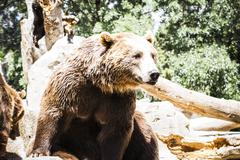 Stock Photo of beautiful and furry brown bear, mammal